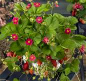 Strawberry. Tarpan 10 seeds