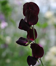 Sweet Pea. Almost Black 15 seeds