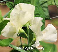 Sweet Pea. Cathy 15 seeds