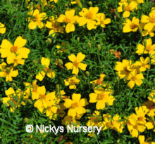 Tagetes. Gem Series Lemon 400 seeds