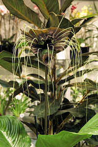 Tacca Bat Plant. chantrierei Green Isle 15 seeds
