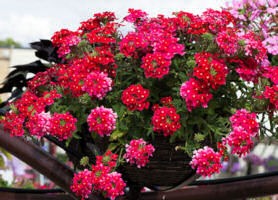 Verbena. Obsession Cascade Red Eye 10 seeds