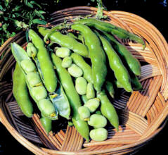 Broad Bean The Sutton 50g av 30-32 seeds
