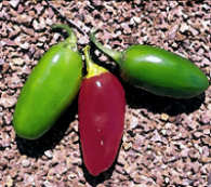 Chilli Seeds Numex Vaquero
