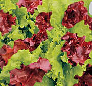 Lettuce Bis Mixed Italian Range 1200 seed Mixture