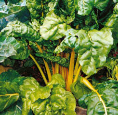 Swiss Chard Yellow 100 seeds