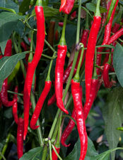 Chilli Curry Chilli 10 seeds