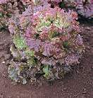 Lettuce Red Sails 375 seeds