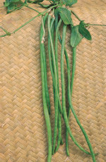 Bean Climbing Yard long 75 seeds