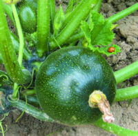 Courgette Eight Ball 10 seeds