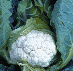 Cauliflower Clapton clubroot resistant 20 seeds