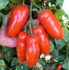 Peppers Sweet Antohi Romanian 15 seeds