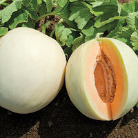 Melon Honeydew Orange 10 seeds