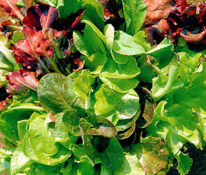 Lettuce Salad Mixed (Misticanza di Lattughe) 1200 seeds