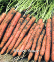Carrot Amsterdam 2 Maxi 1500 seeds