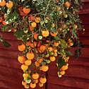 Tomato Seeds Tumbling Tom Yellow 15 seeds