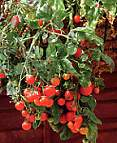 Tomato Seeds Tumbling Tom Red 15 seeds