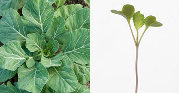 Kale Collard Champion 250 seeds