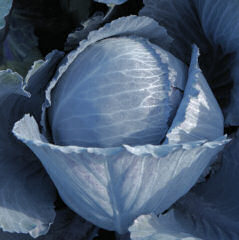 Cabbage Lodero clubroot resistant 20 seeds