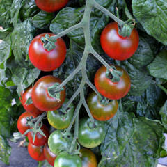 Tomato Ruby Falls 10 seeds