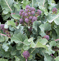 Broccoli Red Blaze (purple sprouting) 50 seeds