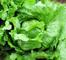 Lettuce Great Lakes 800 seeds