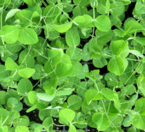 PEA Serge main crop pea shoots or tips 50 gram