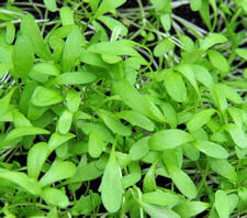 Cress Persian 1000 seeds