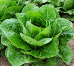 Lettuce Lobjoits Green Cos 1000 seeds