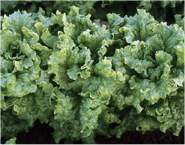 Lettuce Black Seeded Simpson Winter Lettuce 800 seeds