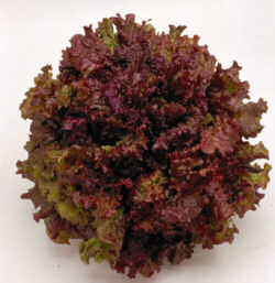 Lettuce New Red Fire 200 seeds