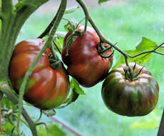 Tomato Seeds Paul Robeson 10 seeds