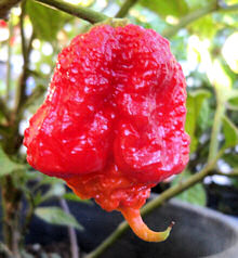 Chilli Carolina Reaper seeds 12 seeds