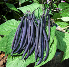 Dwarf French Bean Mistik 120 Seeds