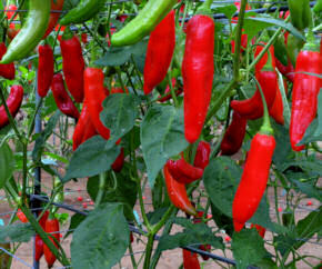 Chilli Seeds Aji Delight 10 seeds