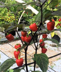 Peppers Sweet Corno di Toro Giallo 25 seeds