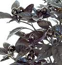 Chilli Seeds Black Pearl 8 seeds