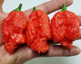 Chilli seeds Brazilian Moruga 10 seeds