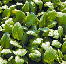 Spinach Arcadia 250 seeds