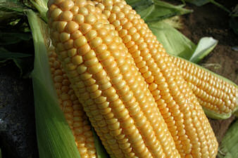 Sweet Corn Goldcrest 40 seeds
