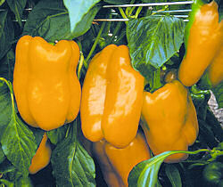 Peppers Sweet Elfo 10 seeds