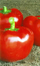 Peppers Sweet Topepo Rosso 10 seeds