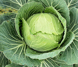 Cabbage Stonehead 50 seeds
