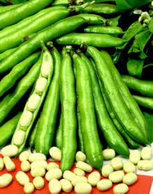 Broad Bean Stereo 50g av 100 seeds