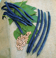 Climbing French Bean Cosse Violette 50g  Av 150 seeds