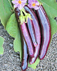 Aubergine Hansel 10 seeds