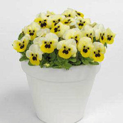 Viola. Sorbet Lemon Ice Blotch 30 seeds