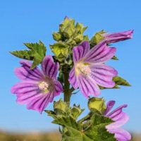 Mallow Common 300 seeds