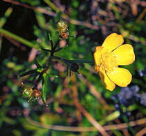 Buttercup Creeping Ranunculus repens