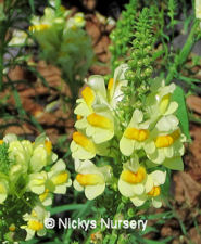 Toadflax Common Linaria Vulgaris 1 gram